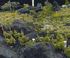 plant-maiapilo