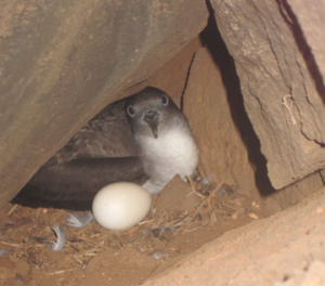 'Ua'u Kani (Wedge-tail Shearwater) Nest created in landscape.