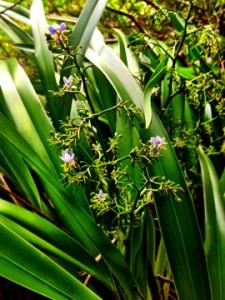 Beautiful 'uki'uki (D. multipedicilata) Hui Kū Maoli Ola Native Hawaiian Plants Rick's iPhone adventures