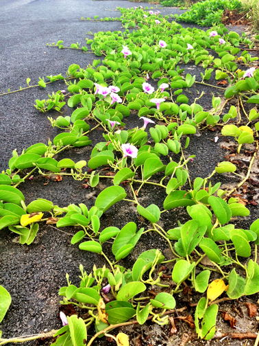 Pōhuehue vines creeping on pavement from beachside plantings