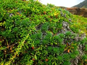A melting pot of coastal native plants