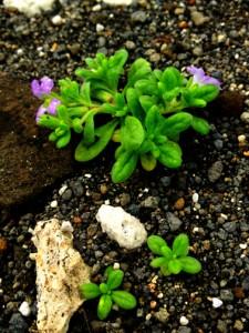 Hinahina kahakai, flowering plant with even smaller seedlings next to it