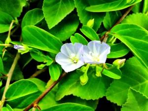 Pā'ū o hi'iaka flowers up close and personal
