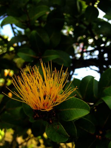 Lehua mamo flower up close