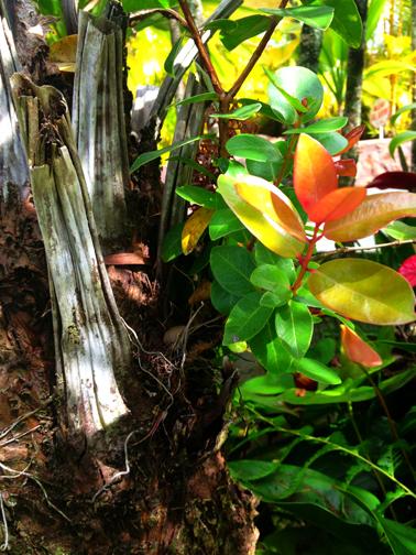 Lehua seedling that germinated on a hapu'u fern